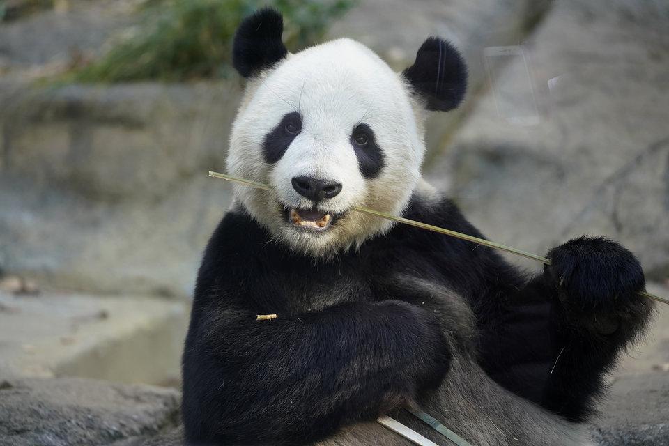 панда Сян Сян, панда в японском зоопарке